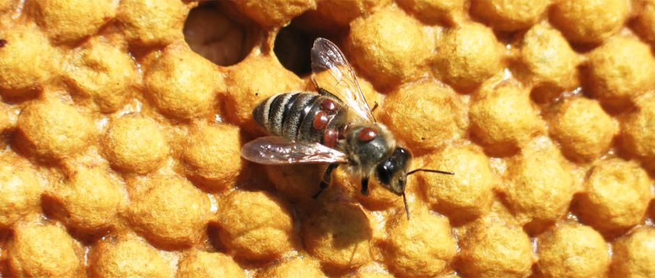 """Prednáška """"Vedenie včelstva počas roka s ohľadom na prevenciu pred varoázou a ďalšími ochoreniami"""""""